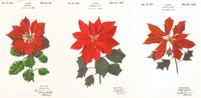 Poinsettia patent