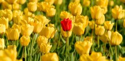 A red tulip among a bed of yellow tulips